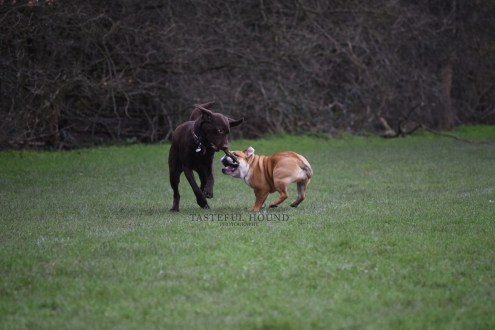 Labrador and Nelly, British Bulldog