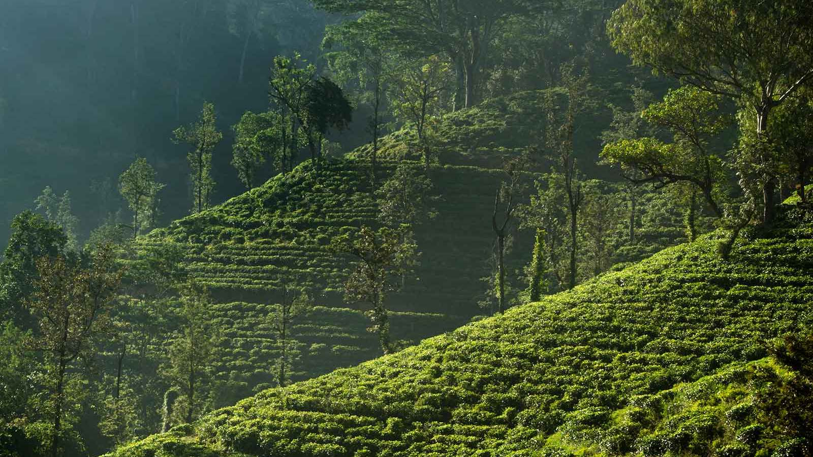The history of Ceylon tea