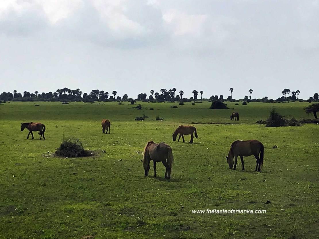 Wild horses on Delft Island, Sri lanka