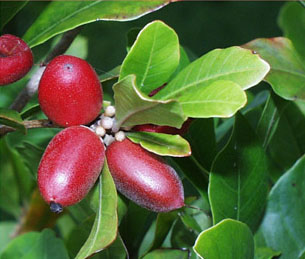 Miracle Fruit - via wikipedia Commons