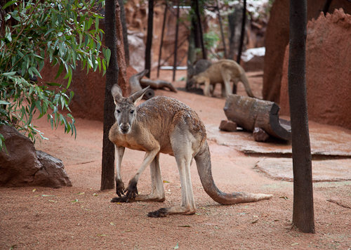 What does Kangaroo Taste Like? Eating Kangaroo Meat in Australia