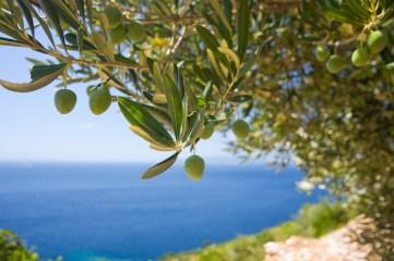 маслиново дърво