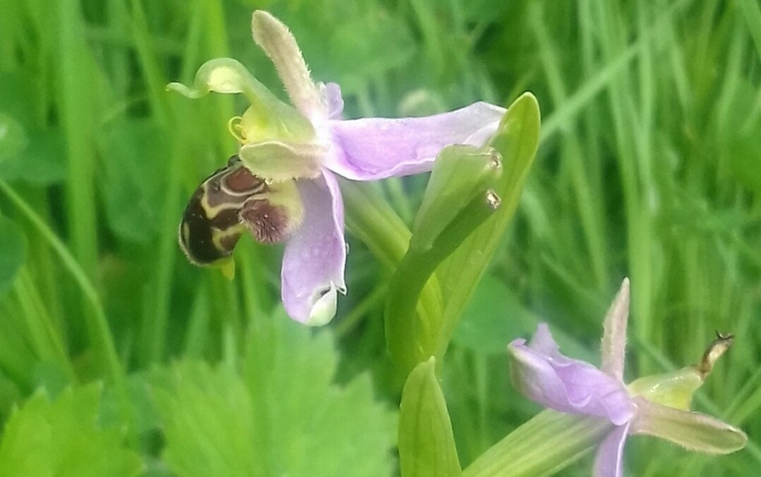 Wordless Wednesday: Ophyris apifera (Bee orchid)