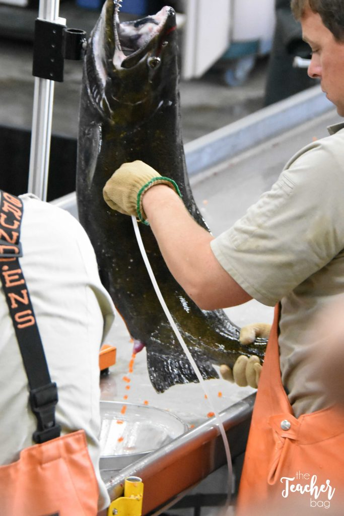 salmon-hatchery-extracting-eggs