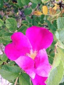 Pink Rose Hugging Itself 5.30.17