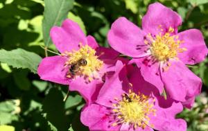 Pink Flowers with a Bee 6.5.18