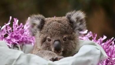 Koala to owl: Baby animals celebrate Christmas at Australian Reptile Park. Watch – it s viral