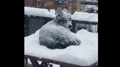 Not Jon Snow, this doggo is the 'real King in the North'. Watch – it s viral