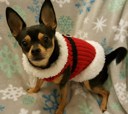 A dog wearing a Christmas sweater.