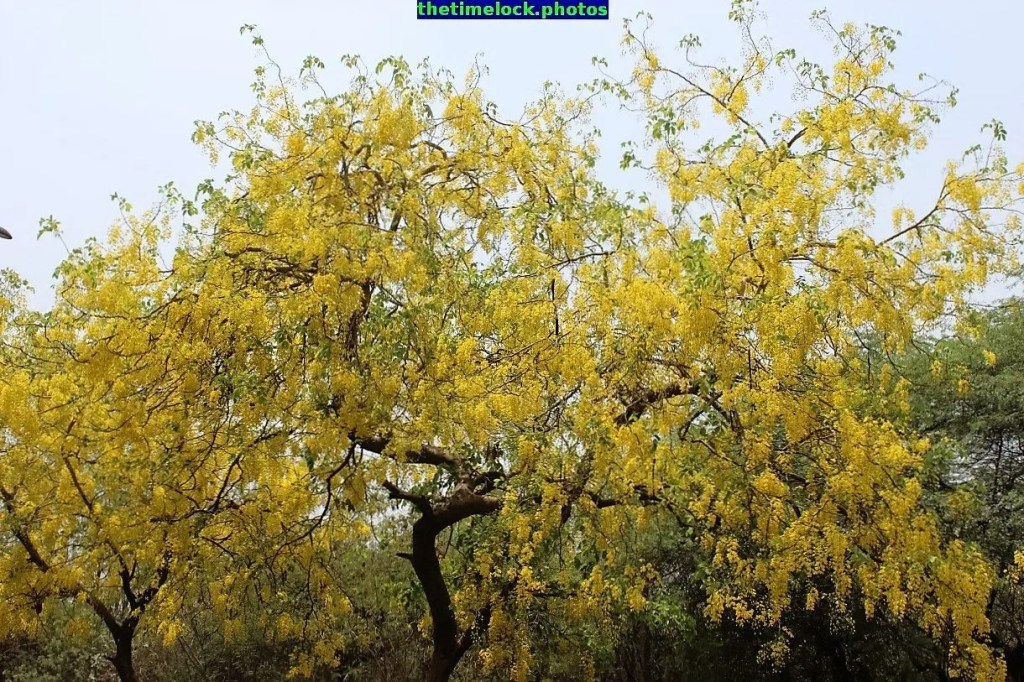 cassia fistula of golden shower tree