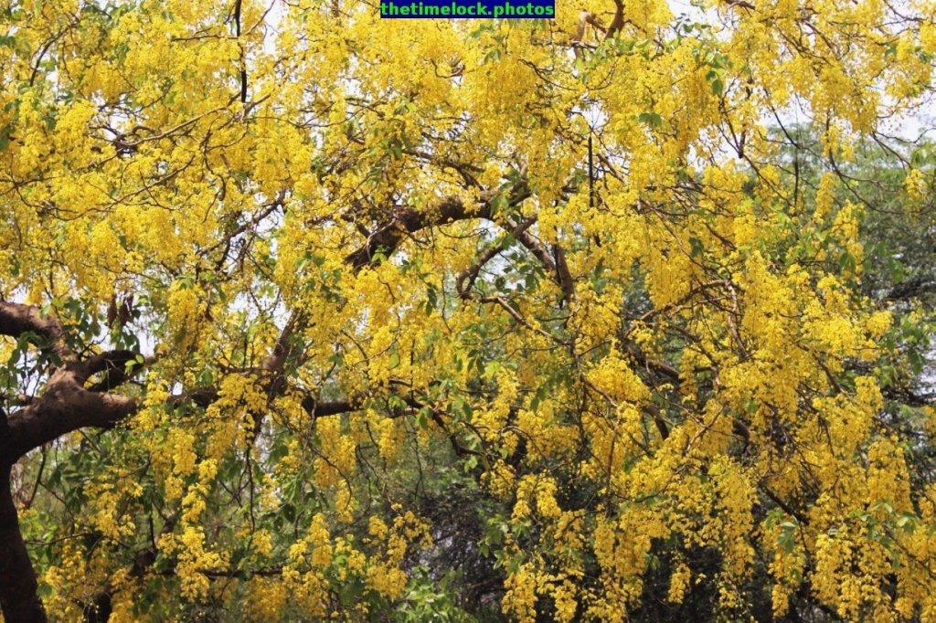 cassia fistula of golden shower tree