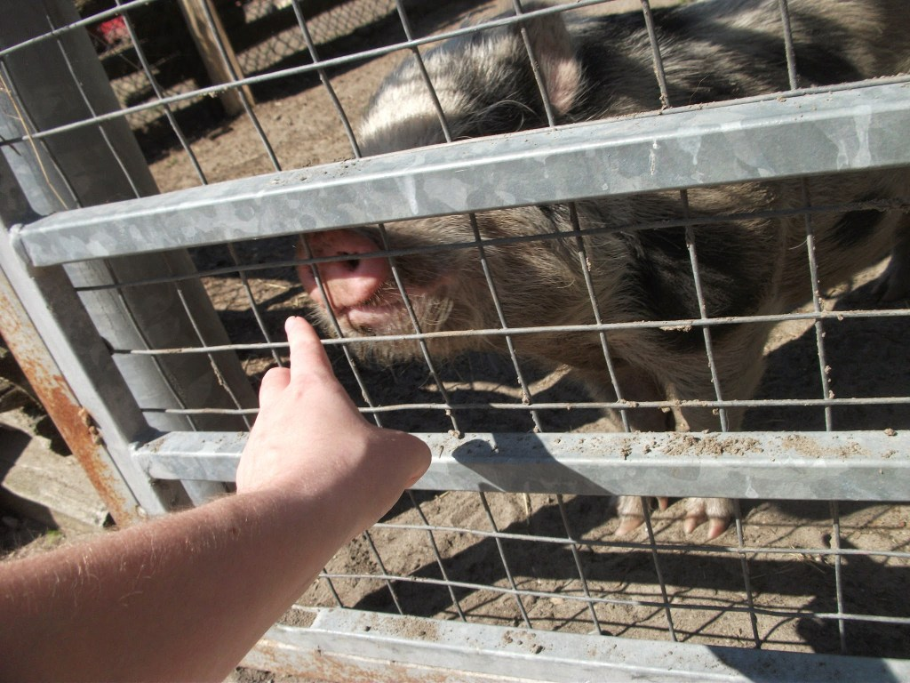 Stroking the pigs at Far Enough Farm on Centre Island Toronto