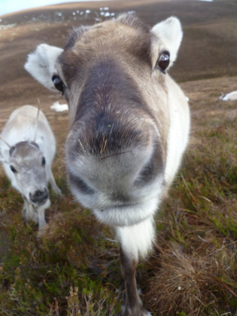 Close Up with Cairngorm Reindeer