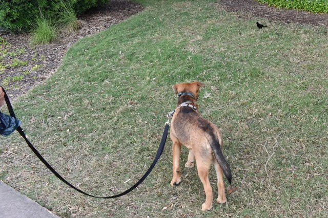 Leashed dog staring at a bird