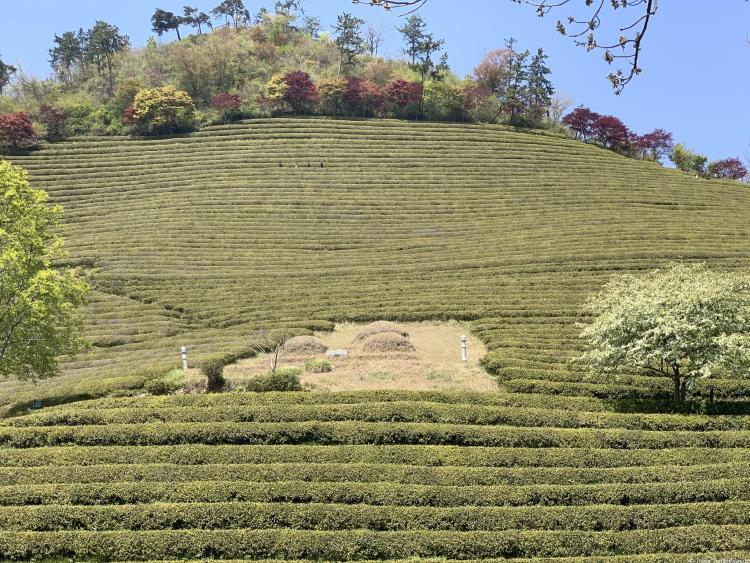 To do in Boseong tea fields with colorful trees in background