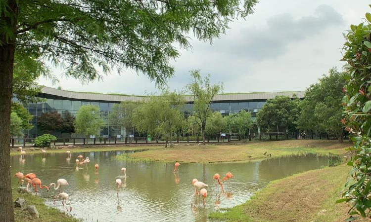 A medium sized shallow green pond with a grassy island in the middle and a few medium sized trees. In the background is a large curved building with bluish windows. In the pond are around two dozen flamingos in various shades of pink.