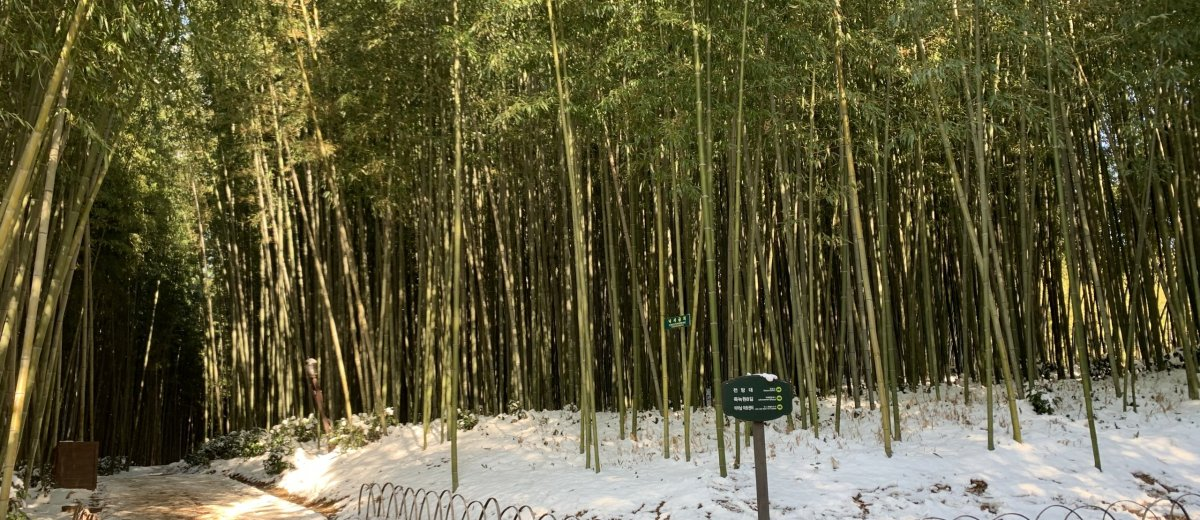 Do in Damyang A bamboo forest covered in snow