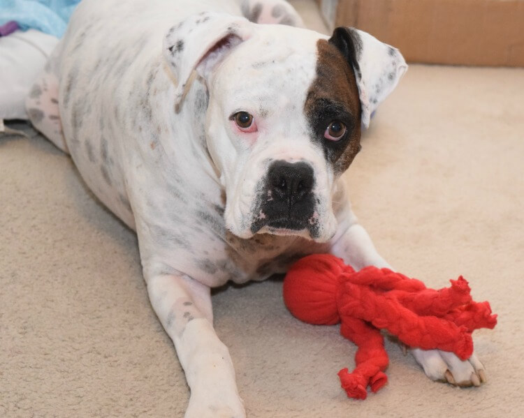 Make this easy DIY Dog Toy & feed your dog #NutritionWorthWaggingFor! #ad #diy
