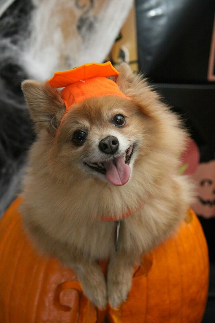 How to Make Your Fur Baby a Halloween Hit #halloween #pet