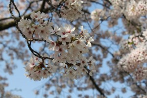 5 Places To See Cherry Blossoms