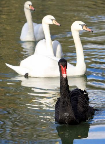 black_swan_white_swans