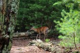 cades cove gatlinburg tn deer