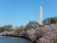 🌼 Kirschblüten am 'Tidal Basin' in Washington D.C.