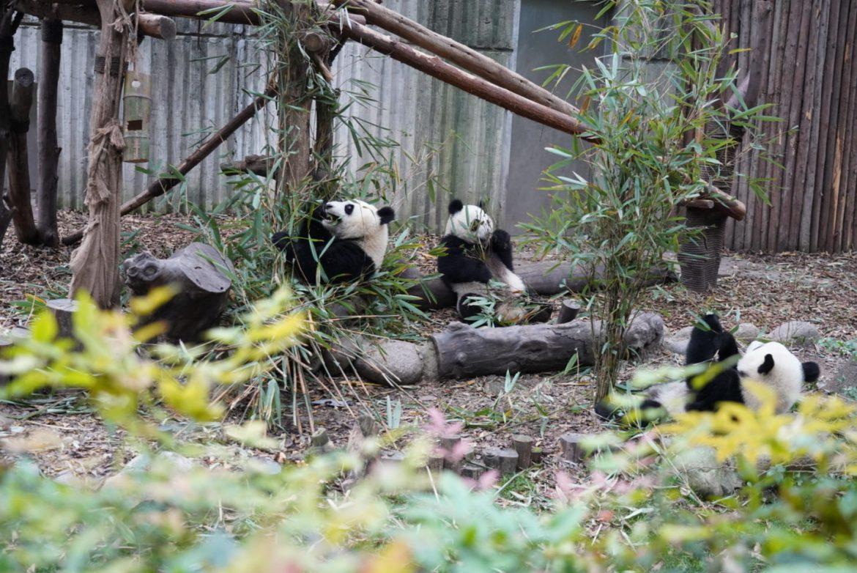 dsc05037 - 中国成都パンダ基地 - 赤ちゃんパンダに会える秋の成都旅行
