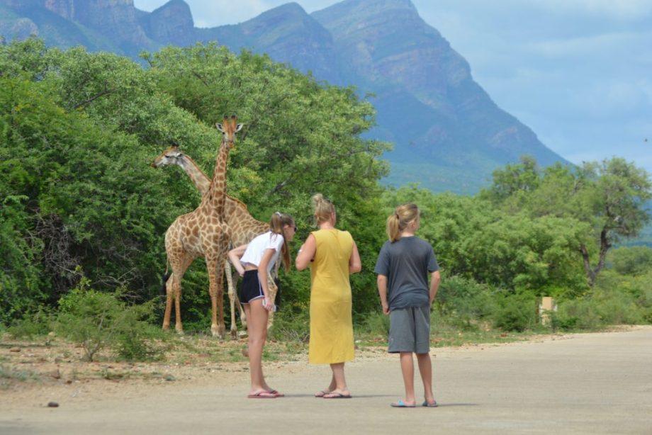 Giraffer i Blyde Wildlife Estate