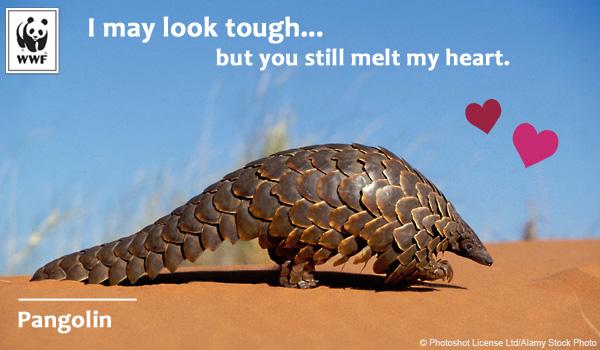 Raising Awareness – Pangolin Love for Valentine's Day