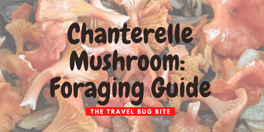 Chanterelle Mushroom, Chanterelle Mushroom: Foraging Guide, The Travel Bug Bite