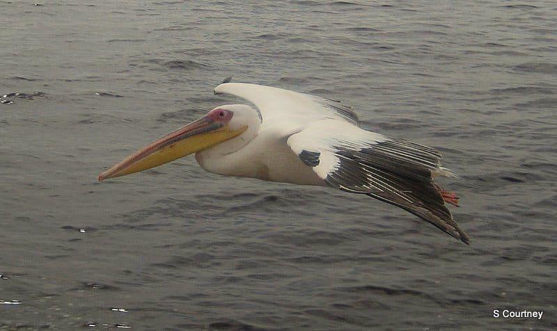 Flying Pelican Namibia