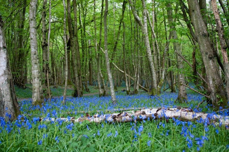 Sussex Bluebell Wood