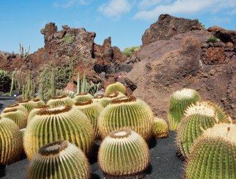 Round cacti at Jardin de Cactus, Lanzarote