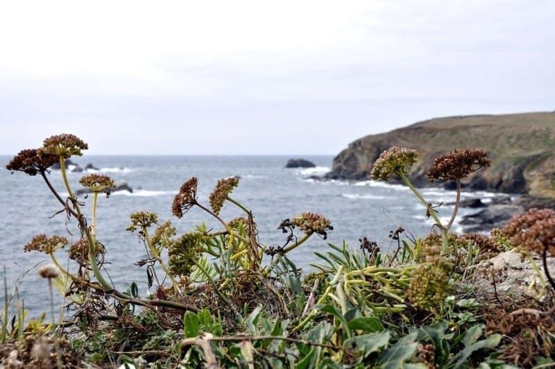 Wild Flora at The Lizard, Cornwall
