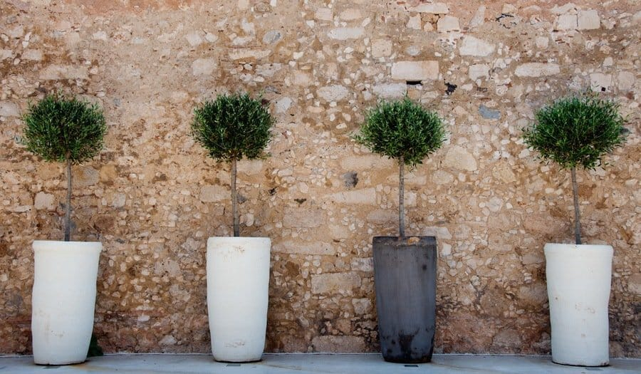 standard olive trees in pots
