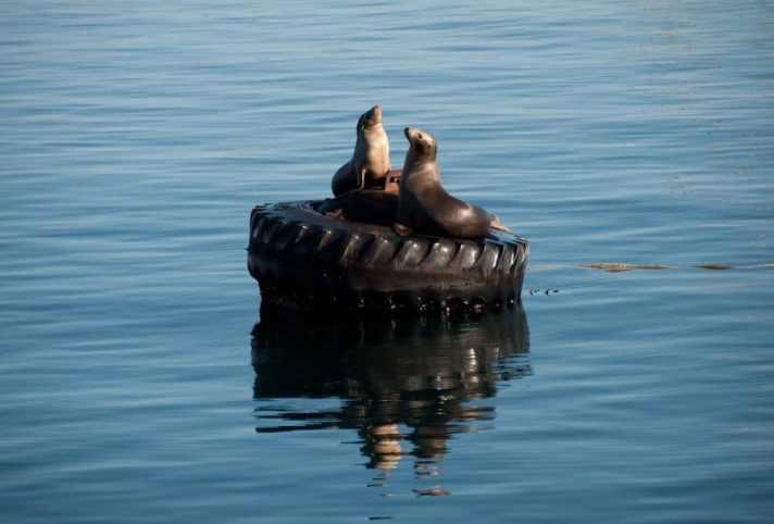 Basking Sea Lions