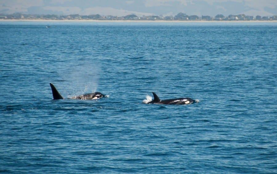 Male and female Orca