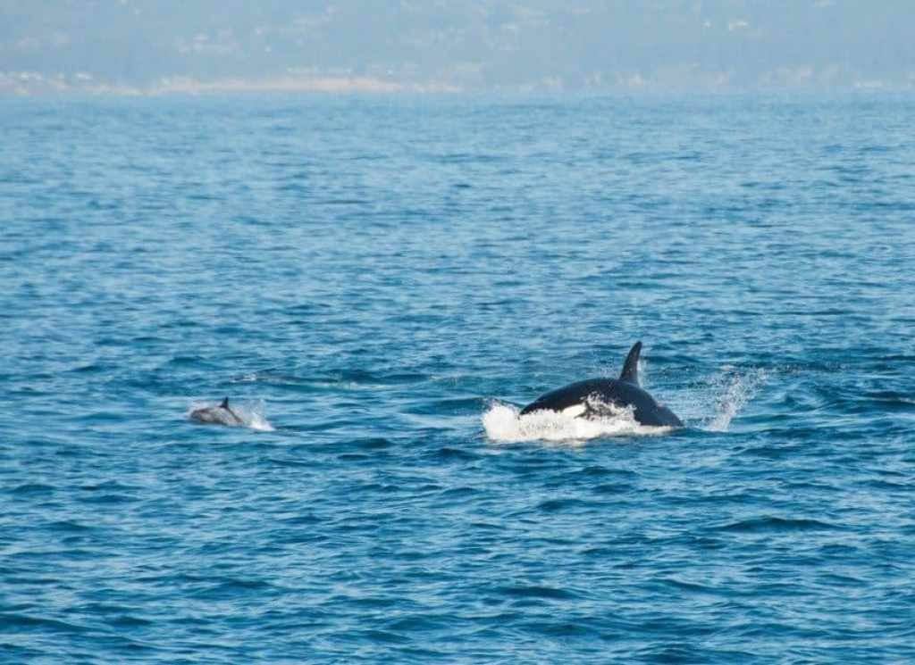 Orca chasing dolphin