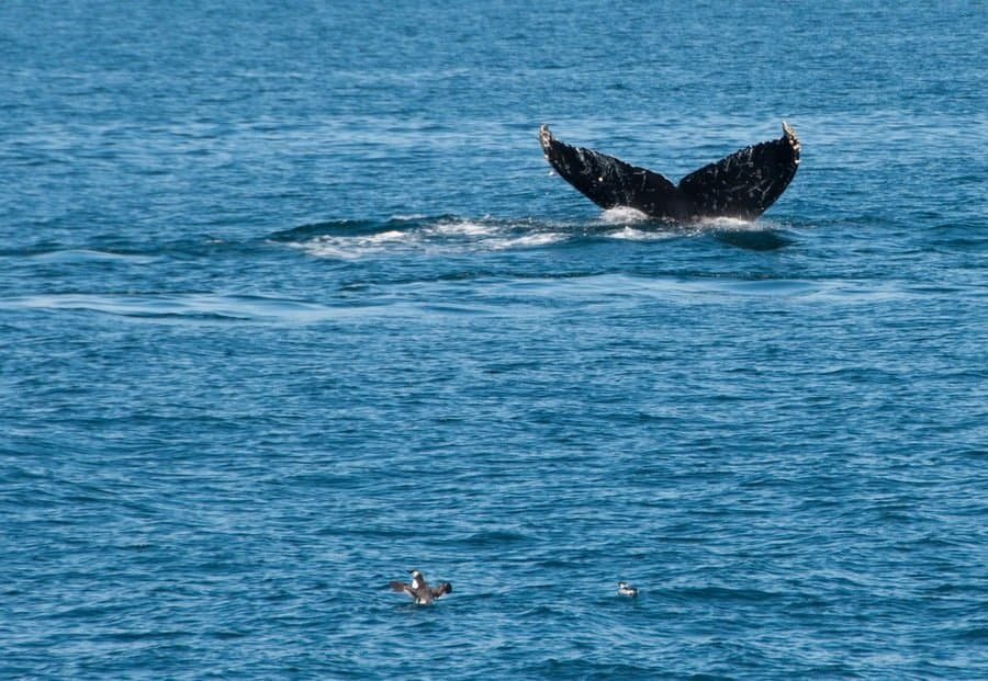 Whale Fluke with Barnacles