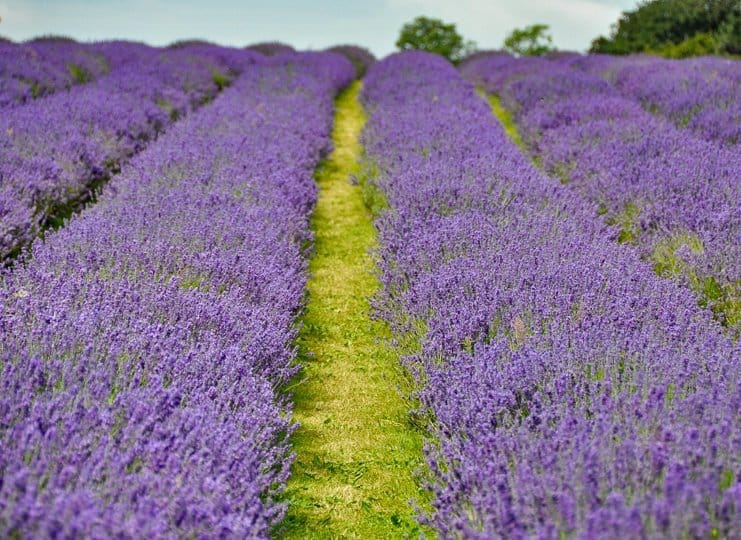 Where to find English lavender fields