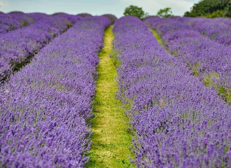 lavender-rows-field