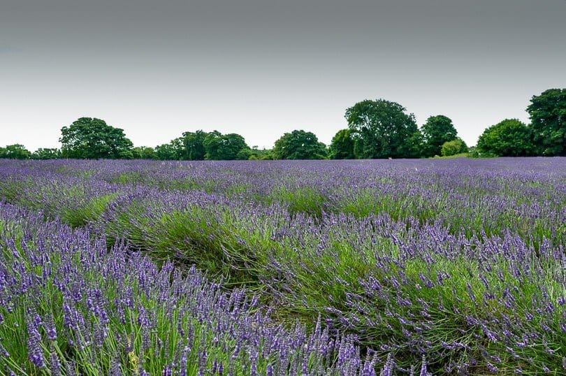 lavender-field-england
