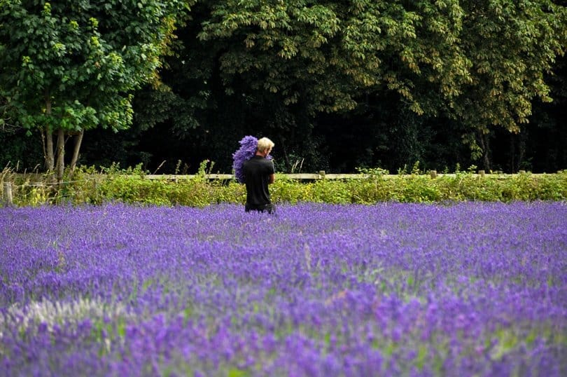 english-lavender-fields