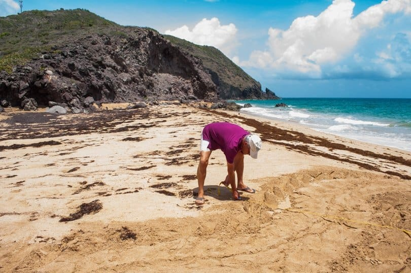 St-kitts-turtle-monitoring-network