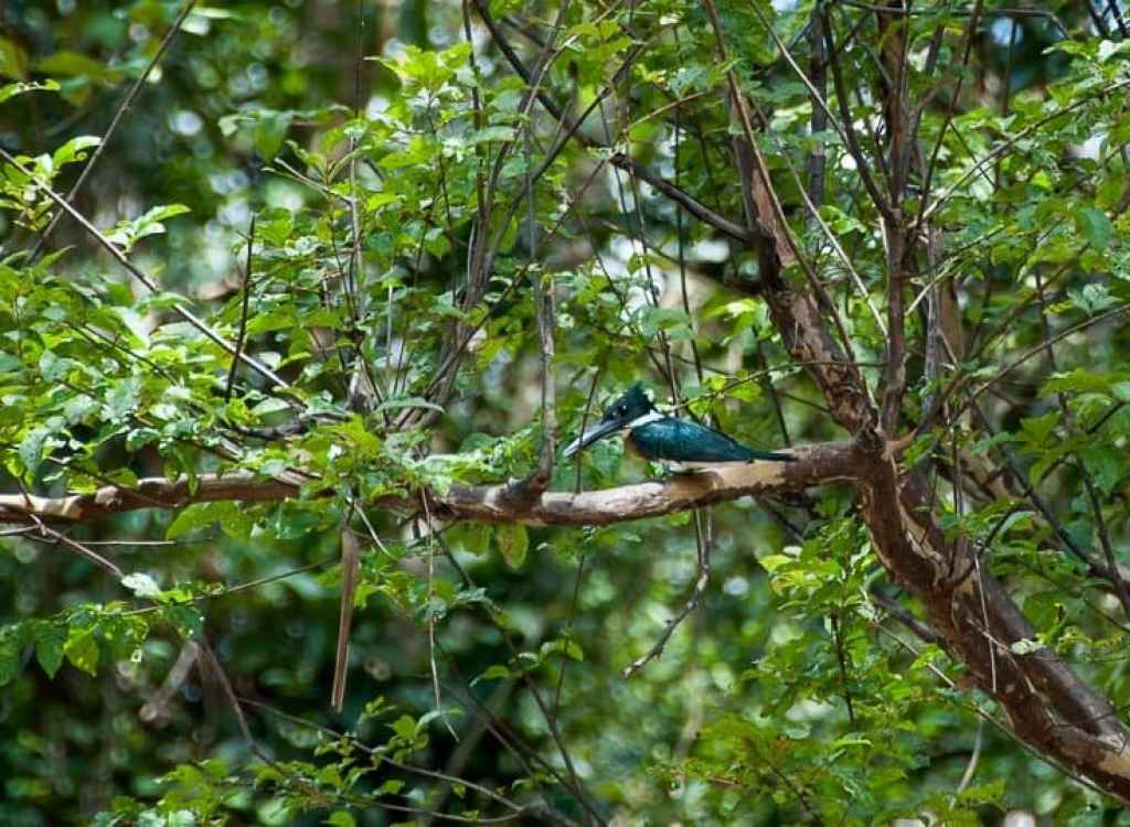 amazon-wildlife-kingfisher