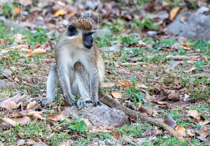 Vervet Monkey St Kitts