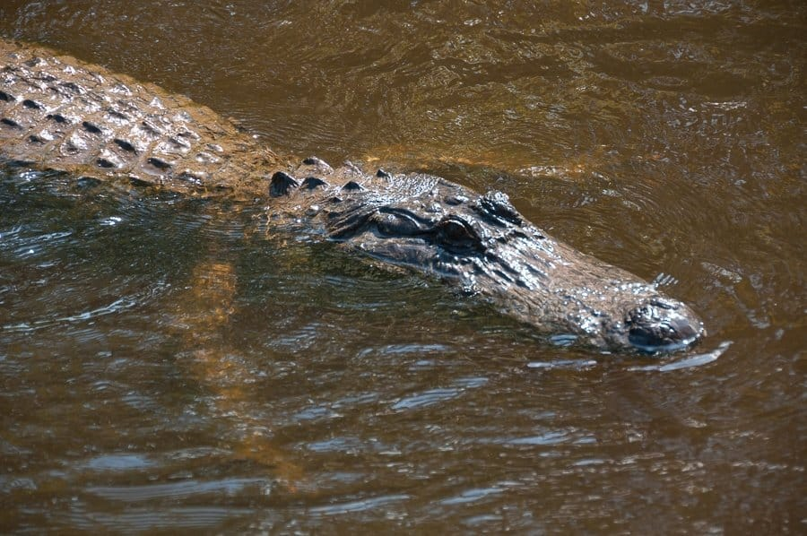 Alligator in New Orleans Swamp