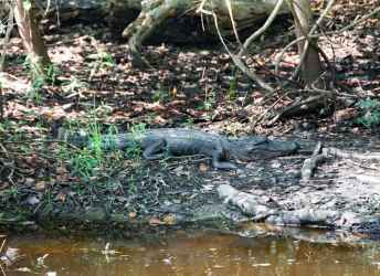 Alligator in New Orleans Swamp