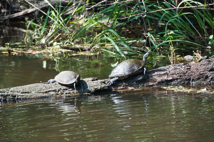 Turtles in New Orleans Swamp